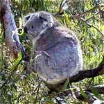 Koala Conservation Centre - Accommodation Sydney