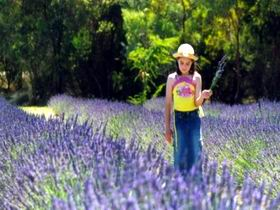 Brayfield Park Lavender Farm - Accommodation Sydney