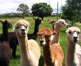 Banyandah Alpacas - Accommodation Sydney