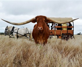 Texas Longhorn Wagon Tours and Safaris - Accommodation Sydney