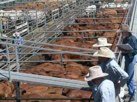 Dalrymple Sales Yards - Cattle Sales - Accommodation Sydney