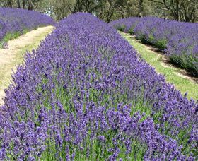 Yuulong Lavender Estate - Accommodation Sydney