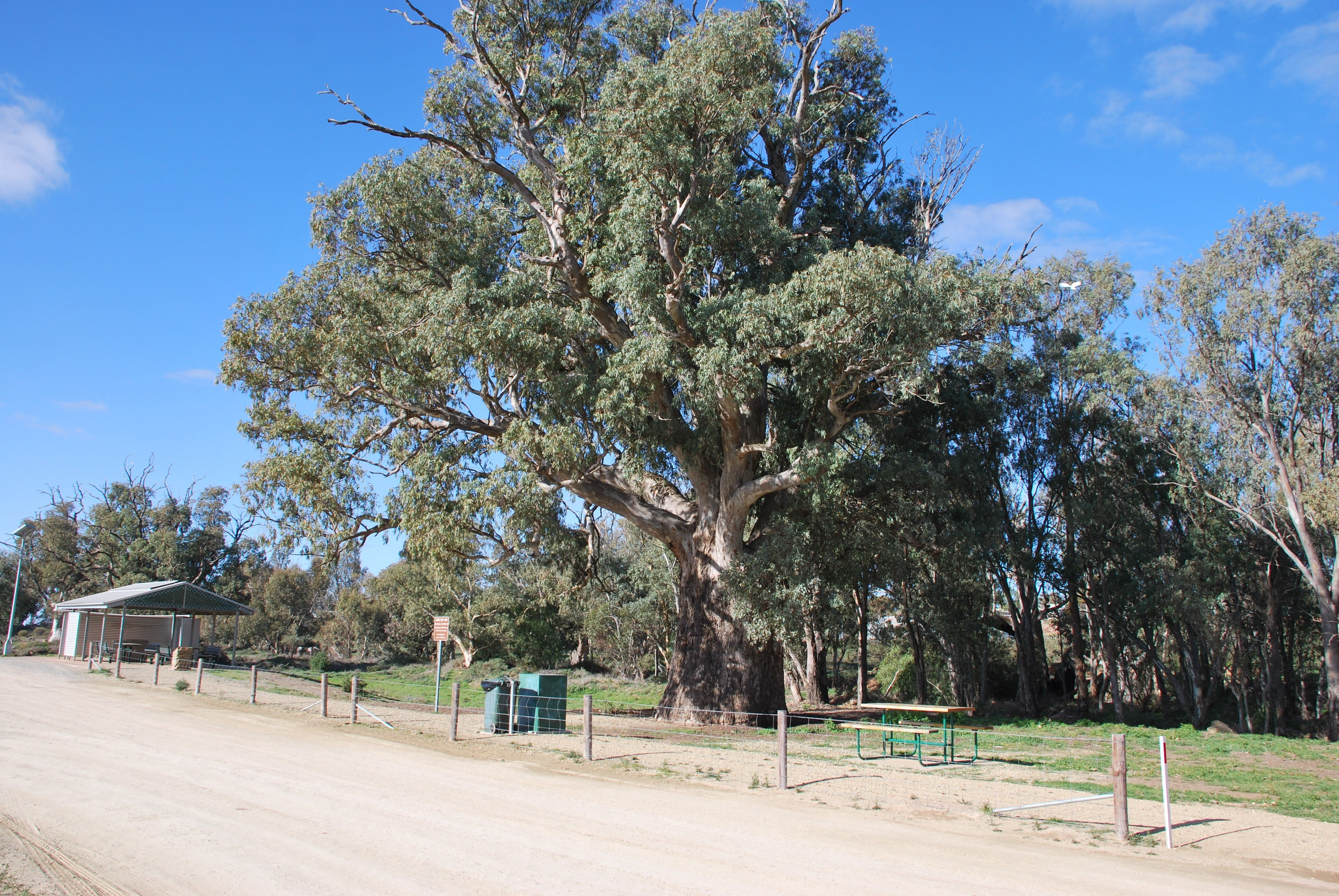 Giant Gum Tree - Accommodation Sydney