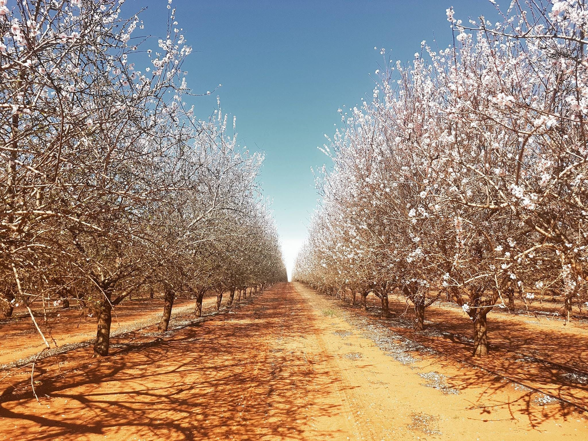 Mallee Almond Blossom Festival - Accommodation Sydney