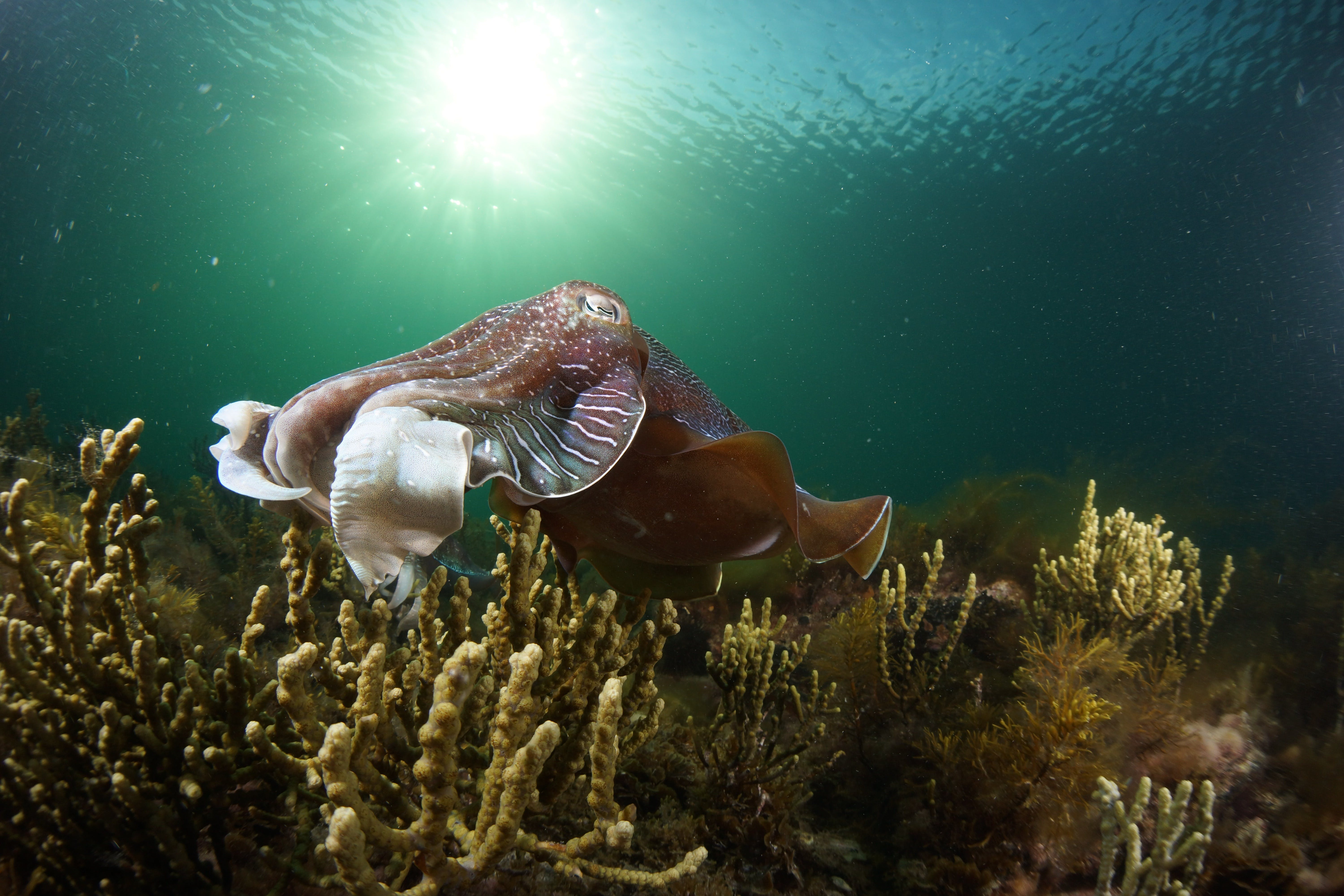 Cuttlefish Diving  Snorkeling EVERYDAY May -August - Accommodation Sydney